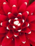 Bromeliad (Aechmea Nidularioides)