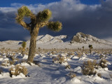 Joshua Trees at Darwin Plateau Covered with Snow after Winter Storm