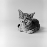 Kitten Lying Down  Yawning