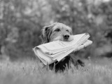 Mixed Breed Dog Holding Newspaper in Mouth
