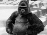 Gorilla With Hands on Hips