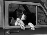 Dog Sitting in Car  Leaning Out of Passenger Window