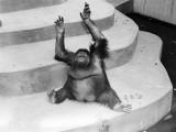 Orangutan (Pongo Pygmaeus) Sitting on Concrete Steps in Zoo