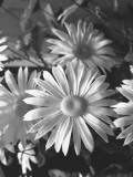 Blooming Daisies  Close-Up
