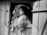 Old Goat Papier Photo