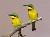 Two Little Bee-Eater Birds on Limb  Kenya