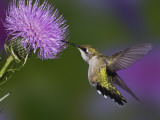 Ruby-Throated Hummingbird in Flight at Thistle Flower