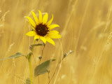Prairie Sunflower at Palouse Falls State Park  Washington  USA