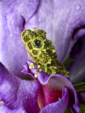 Close-Up of Mossy Tree Frog on Flower  Vietnam