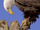 Bald Eagle Perched on Tree Branch  Alaska  USA