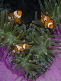 Clownfish Swim Among Anemone Tentacles  Raja Ampat  Indonesia