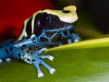 Poison Dart Frog on Red Leaf  Republic of Surinam