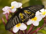 The Golden Birdwing  Khon Kaen  Thailand