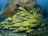 Schooling Sweetlip Fish Swim Past Coral Reef  Raja Ampat  Indonesia
