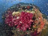 Colorful Corals on Reef  Raja Ampat  Papua  Indonesia