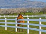 Horse Poses By Flathead Cherry Orchard Near Polson  Montana  USA
