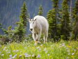 Mountain Goat in Wildflower Meadow  Logan Pass  Glacier National Park  Montana  USA
