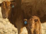 Crossbred Cow With Calf Near Choteau  Montana  USA