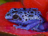 Poison Dart Frog on Red Leaf  Republic of Surinam