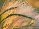 Foxtail Barley Backilt Near East Glacier  Montana  USA