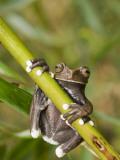 Tapichalaca Tree Frog, Tapichalaca Biological Reserve, Zamora-Chinchipe, Ecuador Papier Photo par Pete Oxford