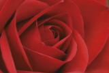 Persian Red Rose