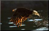 Leaders: Bald Eagle