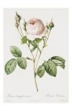 Redoute Rosa Centifolia Carnea