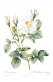 Redoute Rosa Alla Foliacea