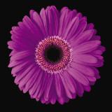 Gerbera Daisy Purple