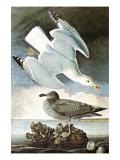 Herring Gull & Black Duck