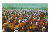 Virginia - Rockingham County Turkey Flock