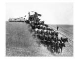 Horse-Drawn Team Wheat Farming