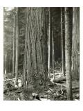 Mount Rainier Road  Large Fir Trunk  1914