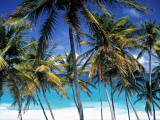 Palm Trees and Beach  Barbados  Caribeean