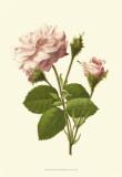 Victorian Rose II
