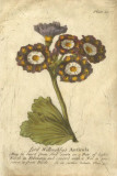 Vintage Auricula I