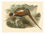 Gould Pheasants II