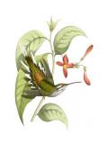 Delicate Hummingbird I