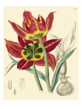Elegant Tulips I