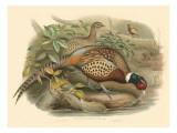 Gould Pheasants I
