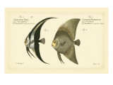 Bloch Antique Fish IV