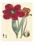 Elegant Tulips VI