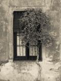 Tree in Front of the Window of a House  Calle San Jose  Colonia Del Sacramento  Uruguay