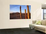 Golden Light on Organ Pipe Cactus  North of Puerto Penasco in Gran Desierto De Altar