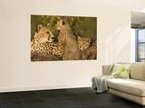 Cheetahs  Upper Mara  Masai Mara Game Reserve  Kenya