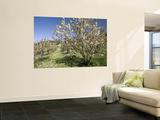 Cherry Trees Flowering in Springtime