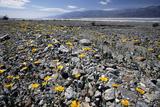 Wildflower Bloom  Death Valley  California