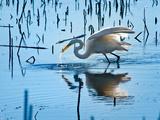 Wild Egret Fishing Horicon Marsh Wisconsin