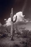 Saguaro Sunset Arizona BW
